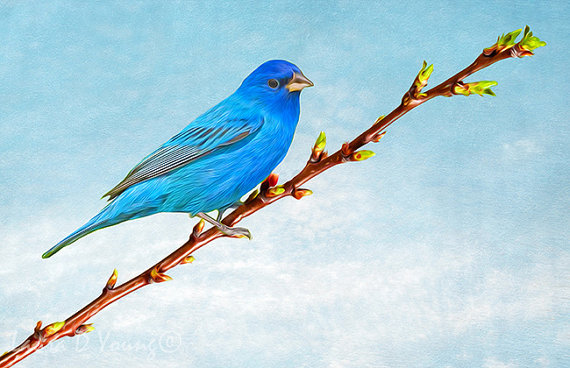Indigo Bunting clipart #15, Download drawings