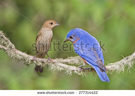 Indigo Bunting clipart #12, Download drawings