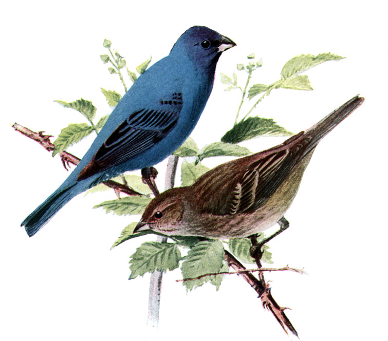 Indigo Bunting clipart #17, Download drawings