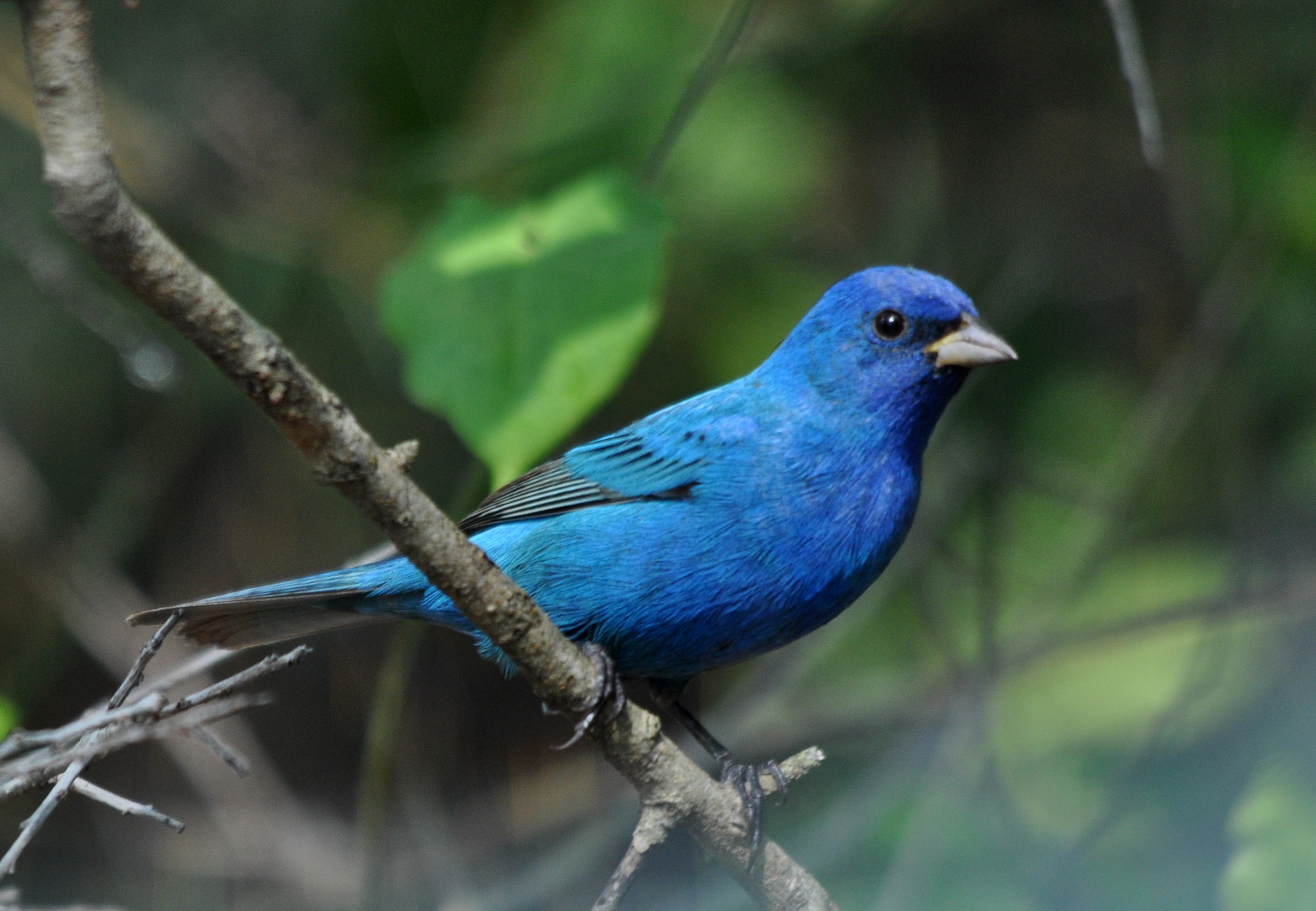 Indigo Bunting svg #17, Download drawings