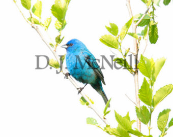Indigo Bunting svg #2, Download drawings