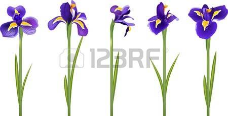 Iris clipart #2, Download drawings