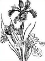 Iris clipart #6, Download drawings