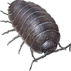Isopod clipart #10, Download drawings
