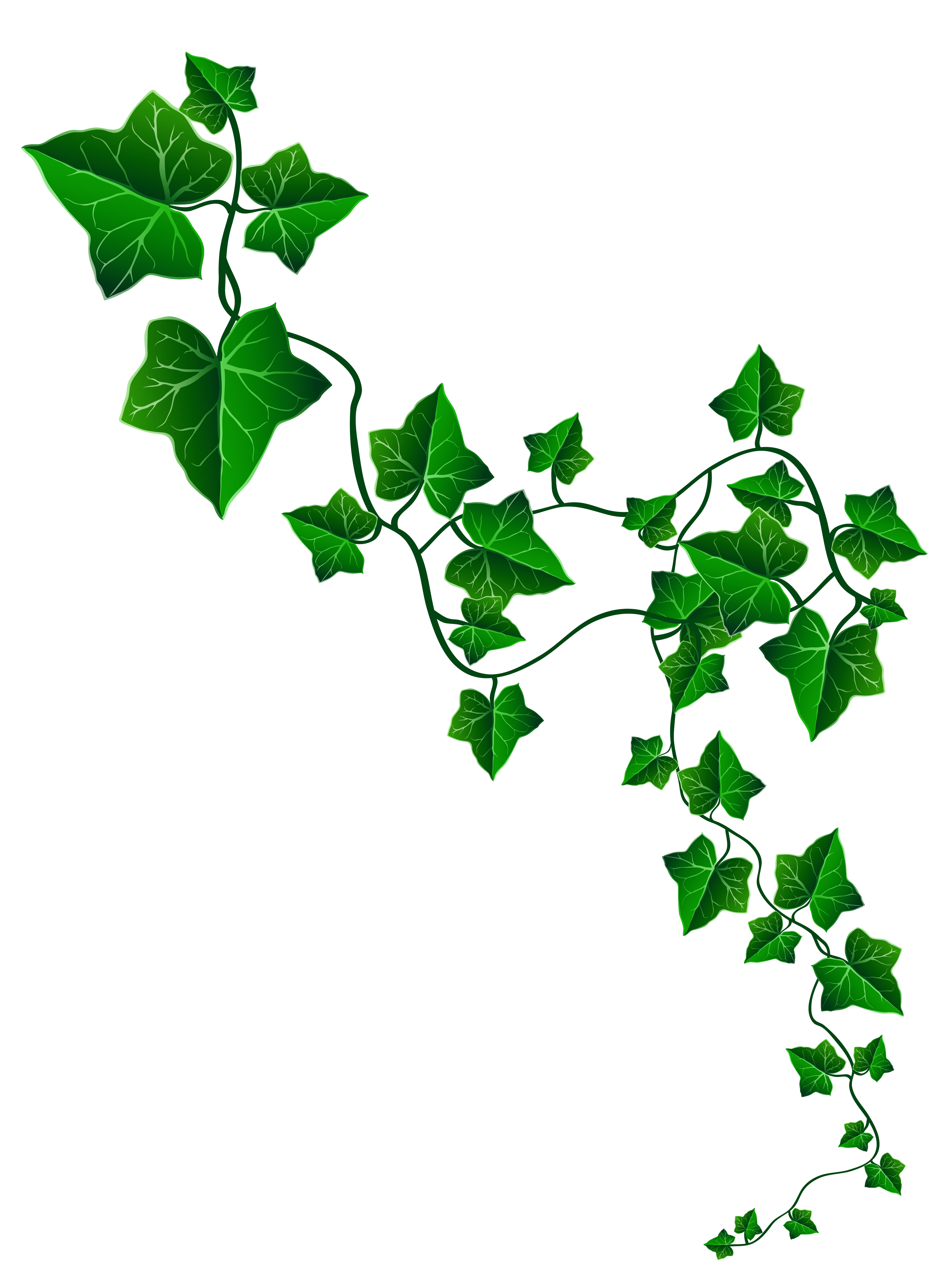 Ivy clipart #2, Download drawings