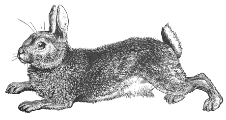Jack Rabbit clipart #16, Download drawings