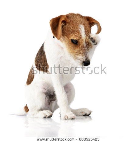 Jack Russell Terrier svg #5, Download drawings