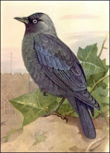 Jackdaw clipart #4, Download drawings