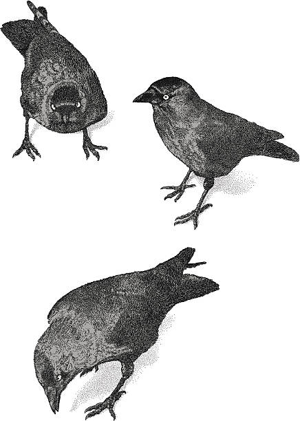 Jackdaw clipart #1, Download drawings