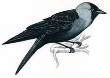 Western Jackdaw clipart #5, Download drawings