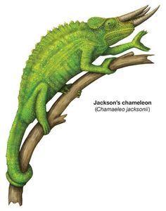 Jackson's Chameleon clipart #19, Download drawings