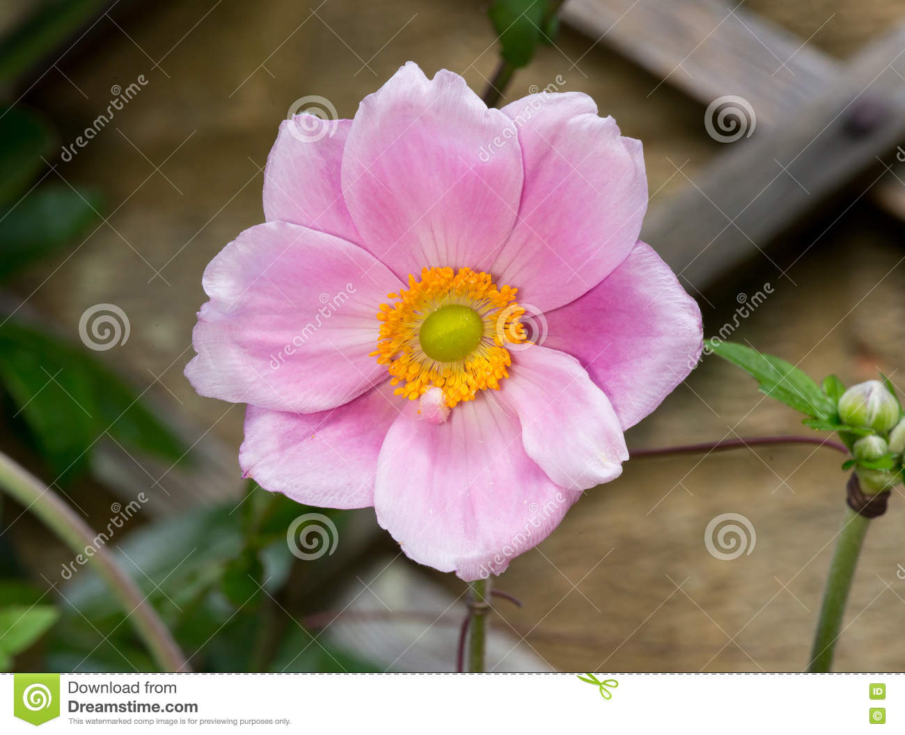 Japanese Anemone clipart #19, Download drawings