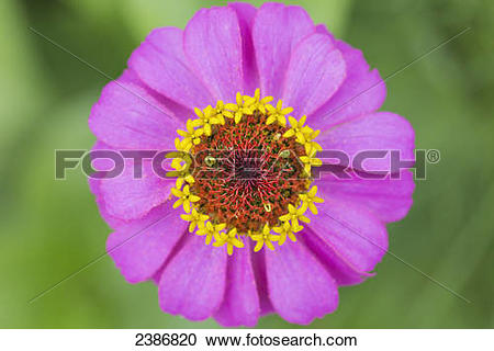 Japanese Anemone clipart #12, Download drawings