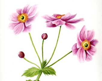 Japanese Anemone clipart #13, Download drawings
