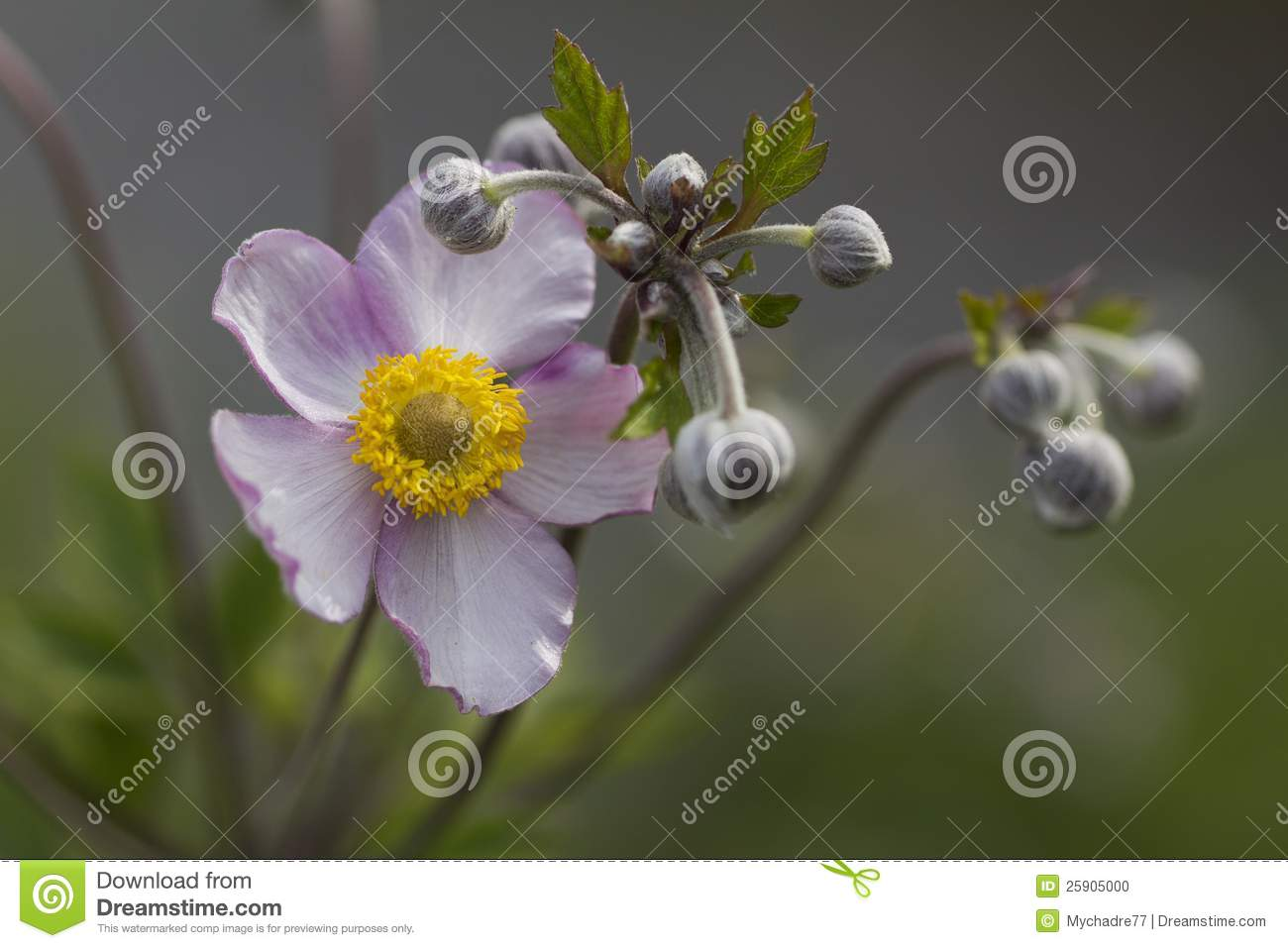 Japanese Anemone clipart #9, Download drawings