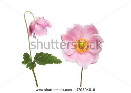Japanese Anemone clipart #8, Download drawings