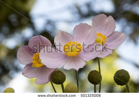 Japanese Anemone clipart #5, Download drawings