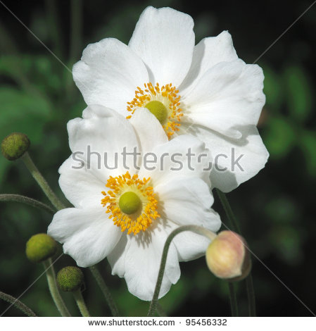 Japanese Anemone clipart #4, Download drawings