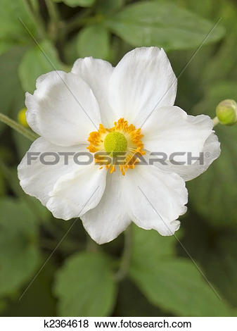 Japanese Anemone clipart #18, Download drawings