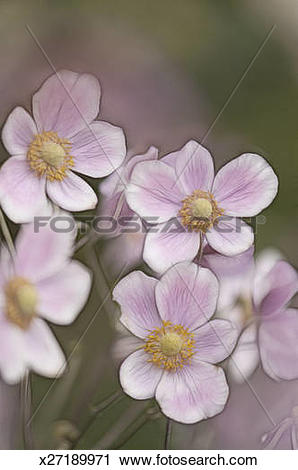 Japanese Anemone clipart #17, Download drawings