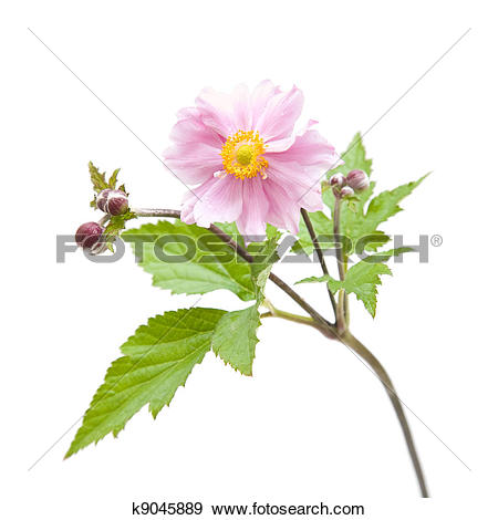 Japanese Anemone clipart #16, Download drawings