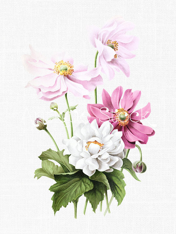 Japanese Anemone clipart #6, Download drawings