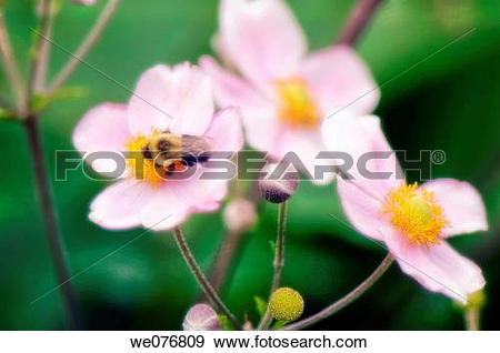 Japanese Anemone clipart #14, Download drawings