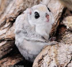 The Japanese Dwarf Flying Squirrel clipart #16, Download drawings