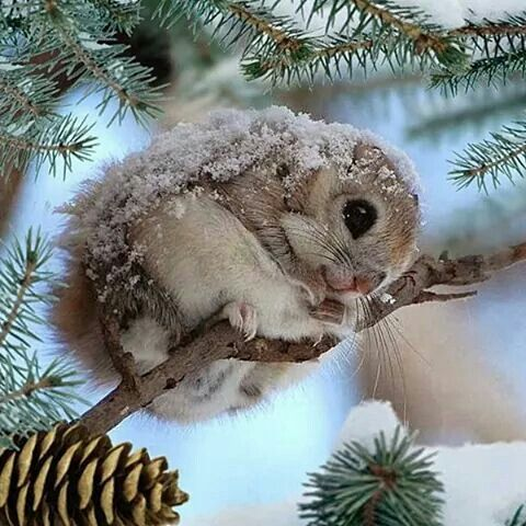The Japanese Dwarf Flying Squirrel clipart #14, Download drawings