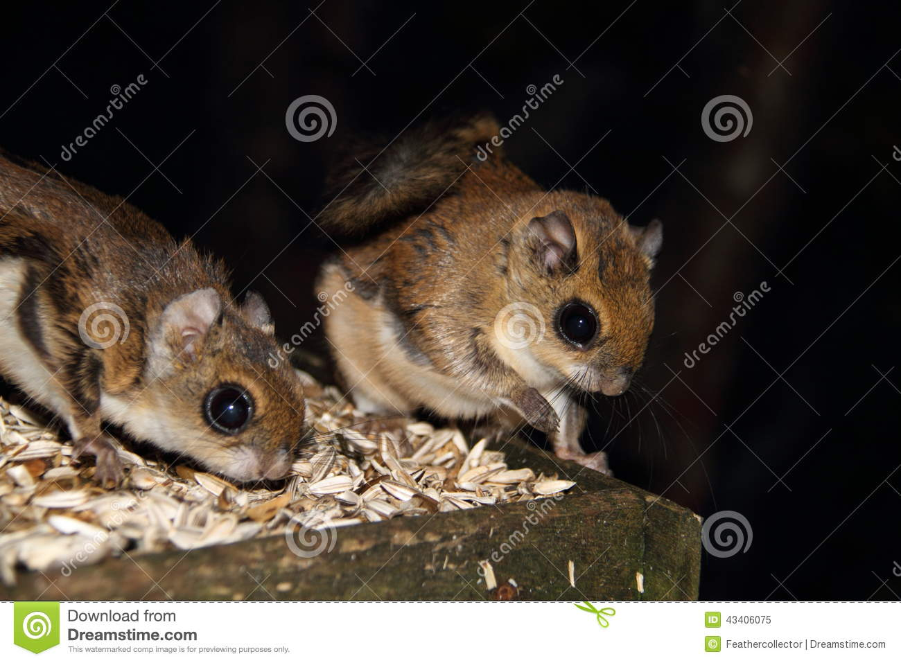 Japanese Dwarf Flying Squirrel clipart #13, Download drawings