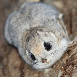 Japanese Dwarf Flying Squirrel clipart #2, Download drawings