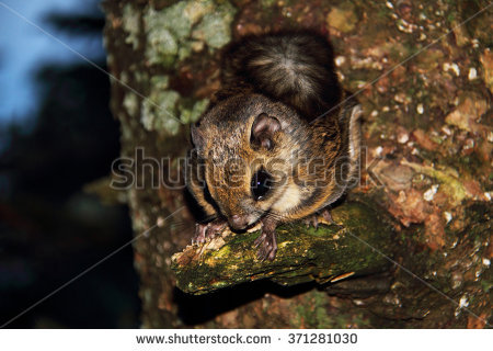 The Japanese Dwarf Flying Squirrel clipart #8, Download drawings