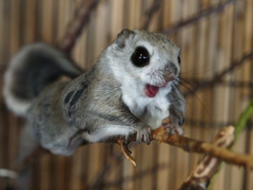 The Japanese Dwarf Flying Squirrel clipart #3, Download drawings