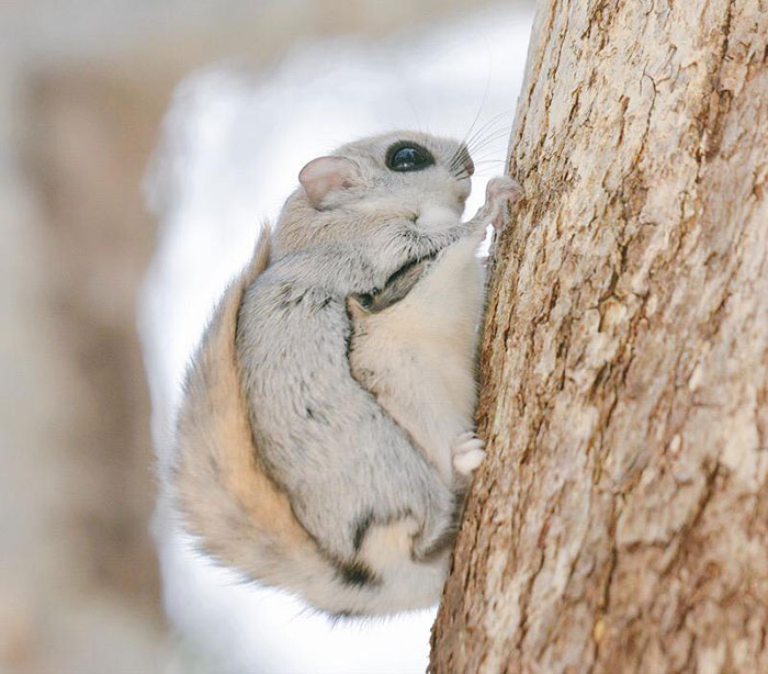 Siberian Flying Squirrel clipart #2, Download drawings