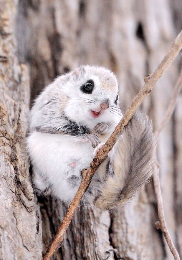 Siberian Flying Squirrel clipart #4, Download drawings