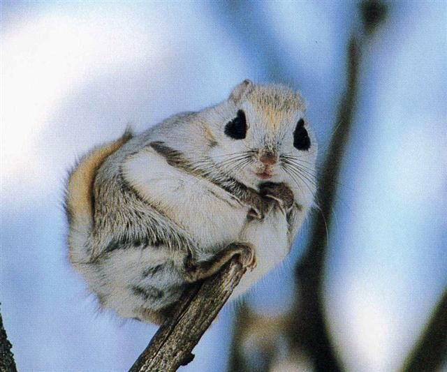 Japanese Dwarf Flying Squirrel clipart #6, Download drawings