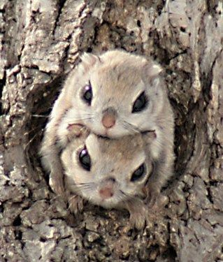 Japanese Dwarf Flying Squirrel clipart #17, Download drawings