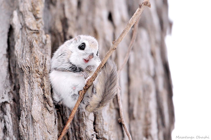 Japanese Dwarf Flying Squirrel clipart #16, Download drawings