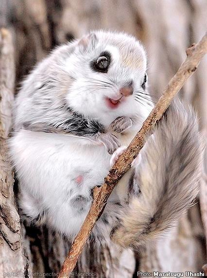 Japanese Dwarf Flying Squirrel coloring #4, Download drawings