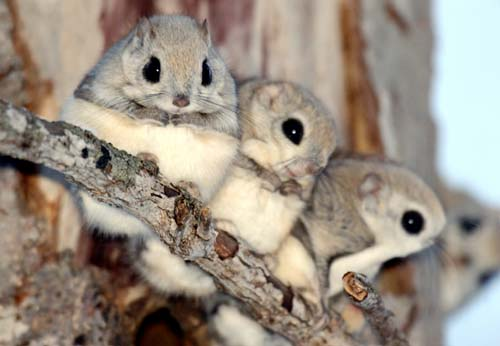 Japanese Dwarf Flying Squirrel coloring #9, Download drawings