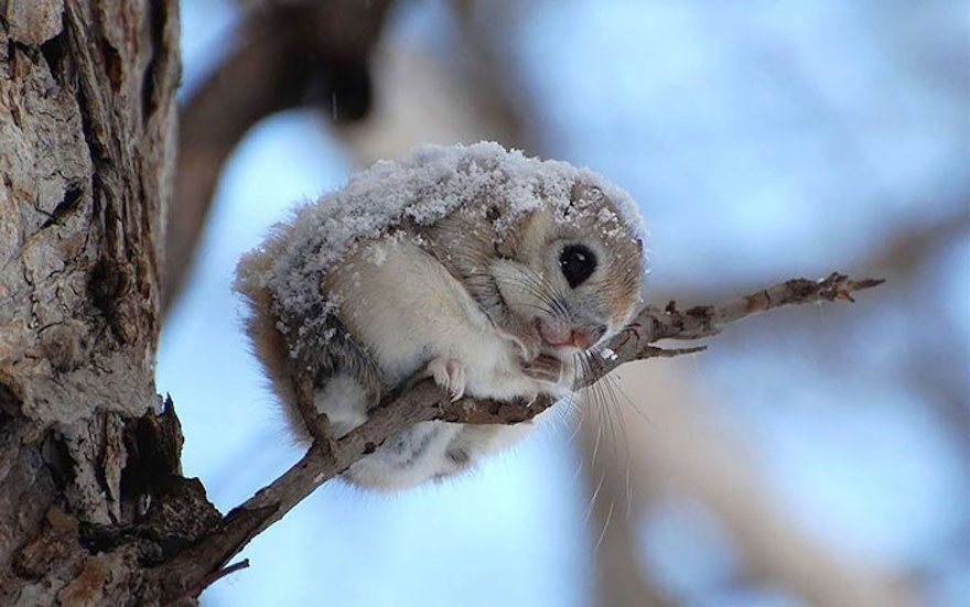 Japanese Dwarf Flying Squirrel coloring #1, Download drawings