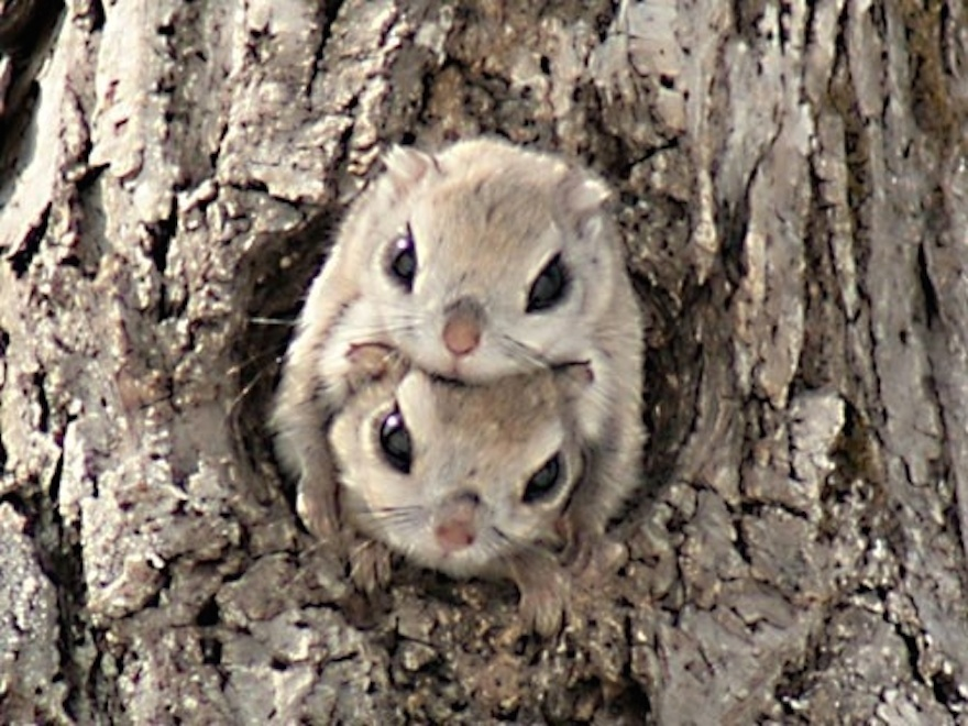 Japanese Dwarf Flying Squirrel coloring #6, Download drawings