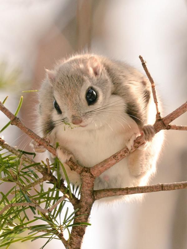 Japanese flying squirrel pet