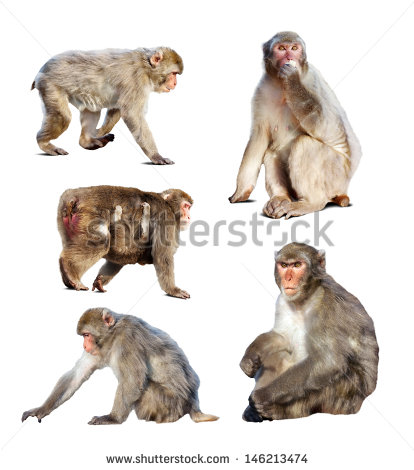 Japanese Macaque clipart #11, Download drawings