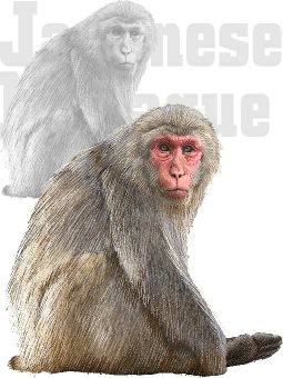 Japanese Macaque clipart #7, Download drawings