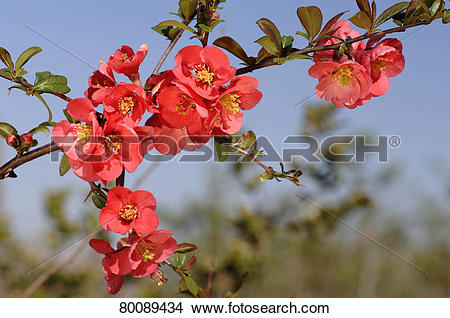 Japanese Quince clipart #10, Download drawings