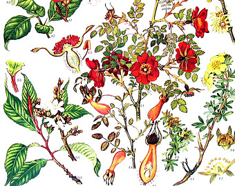 Japanese Quince clipart #9, Download drawings