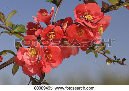 Japanese Quince clipart #8, Download drawings