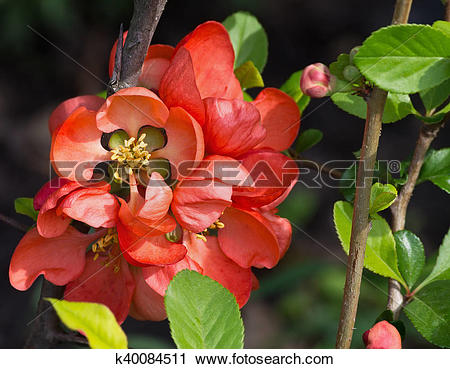 Japanese Quince clipart #5, Download drawings