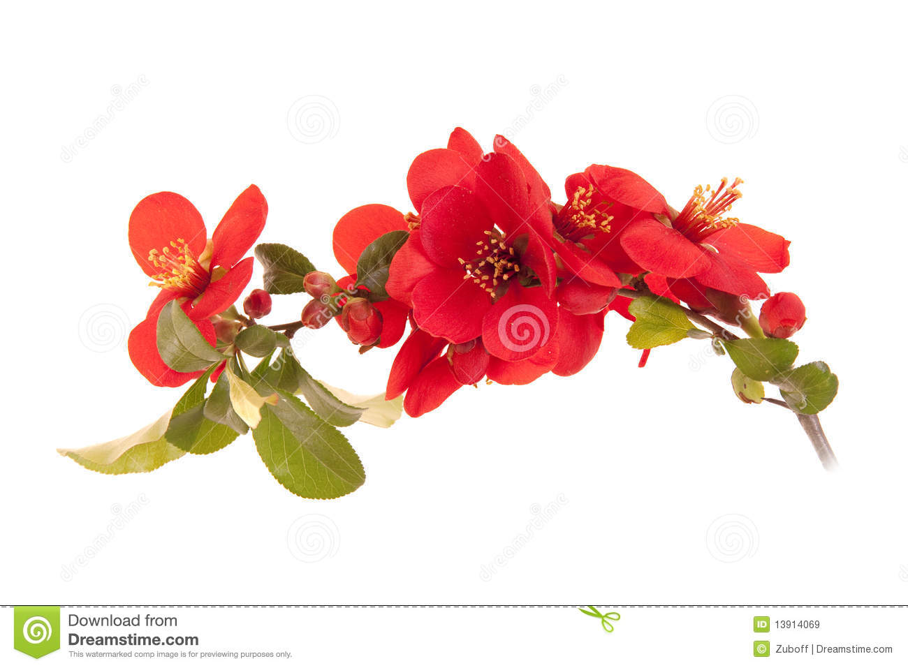 Japanese Quince clipart #20, Download drawings